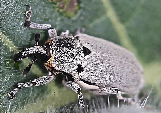 Fly?  - Trichobaris