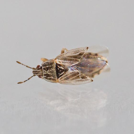 artheneid bug - Holcocranum saturejae