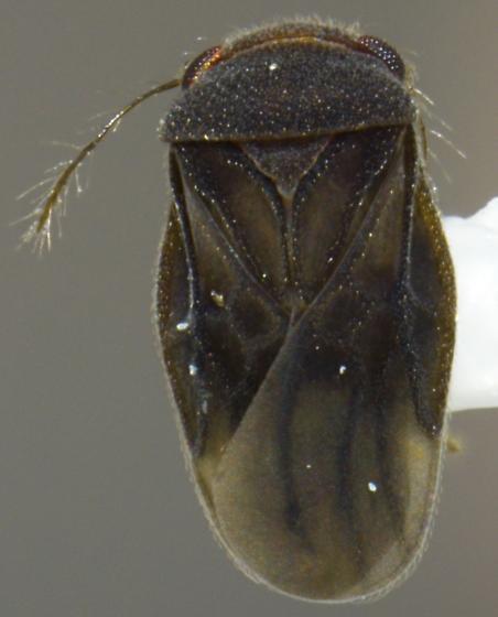 Schizopteridae - Corixidea major - male