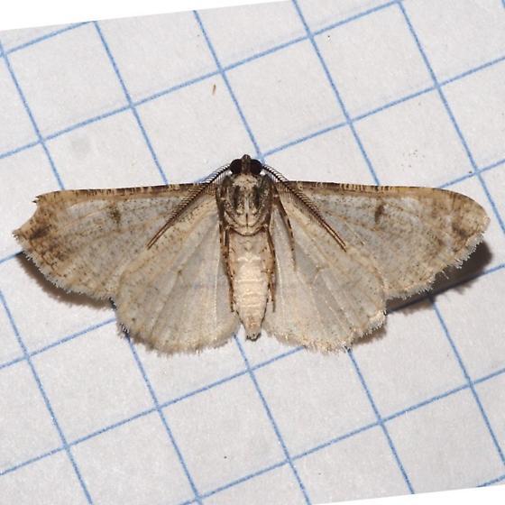 Hodges#6581 - Iridopsis perfectaria - male