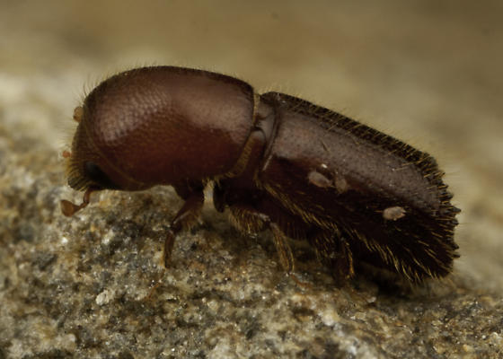 small beetle with mites - Xyleborus celsus