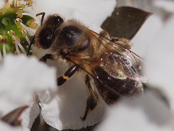 Honey Bee (Apis mellifera)? - Apis mellifera