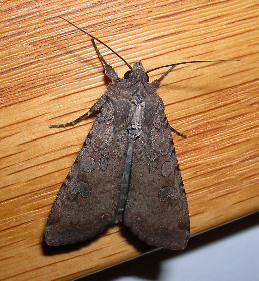 Unknown moth, cutworm? - Peridroma saucia