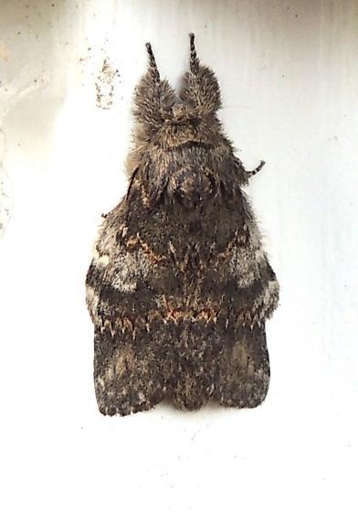 Angulose Prominent - Hodges#7920 (Peridea angulosa) - Peridea angulosa
