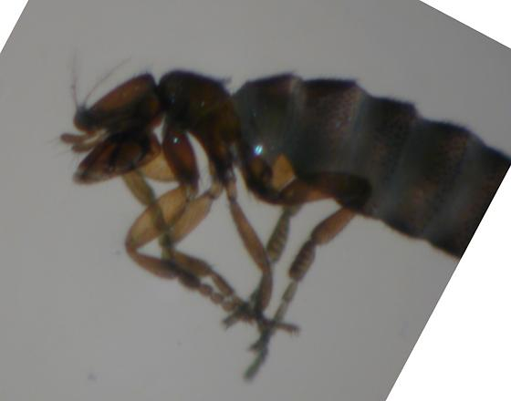 Unknown small insect - unable to identify to order let alone family - Trophodeinus