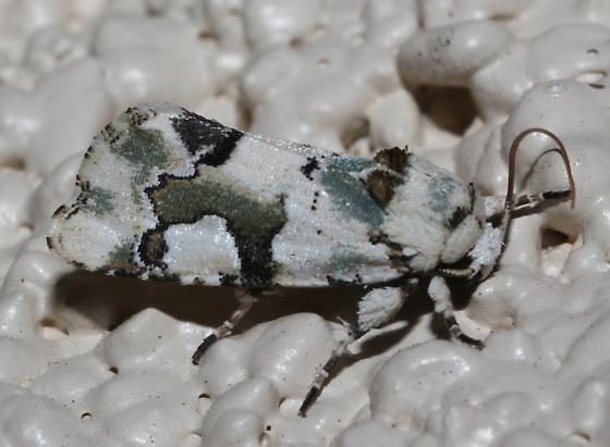 Green Moth - Emarginea percara