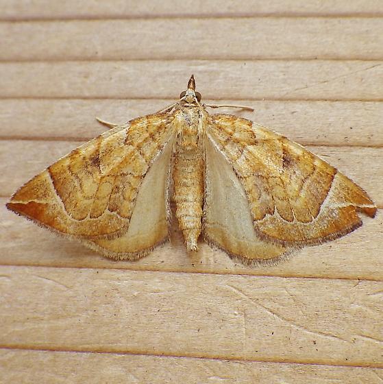 Geometridae: Eulithis testata - Eulithis testata
