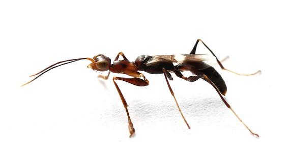 Dryinus - female