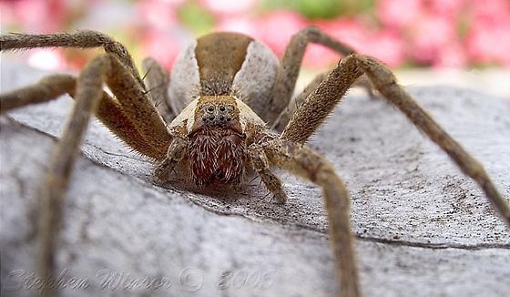 ? spider - Pisaurina mira
