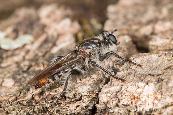 Asilid - Andrenosoma fulvicaudum - male
