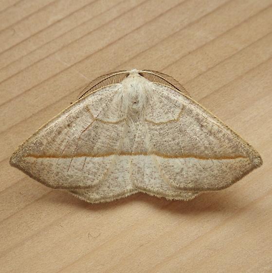 Geometridae: Eusarca confusaria - Eusarca confusaria - male
