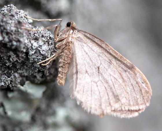 Winter moth - Operophtera brumata - male