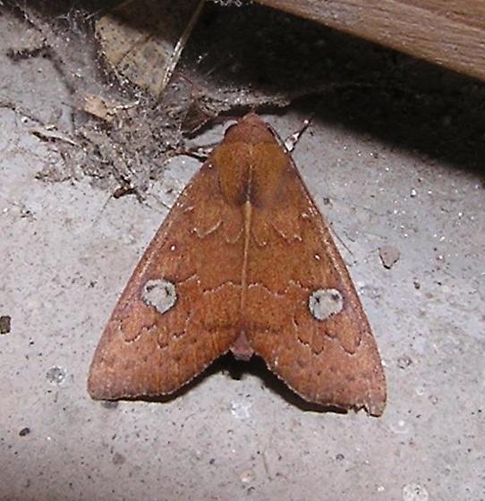 WBC noctuid (?) moth - Anomis luridula