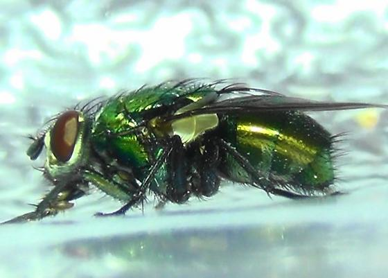Shiny Green Monster (lateral) - Lucilia sericata - female