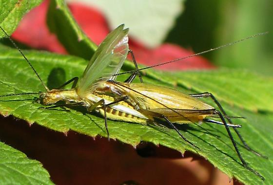 tree crickets post-mating - Oecanthus nigricornis - male - female