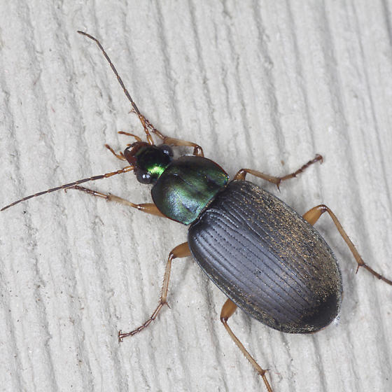 Vivid Metallic Ground Beetle - Chlaenius vafer