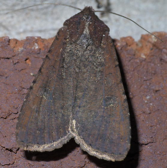 Dark moth with rusty/purple tone - Peridroma saucia