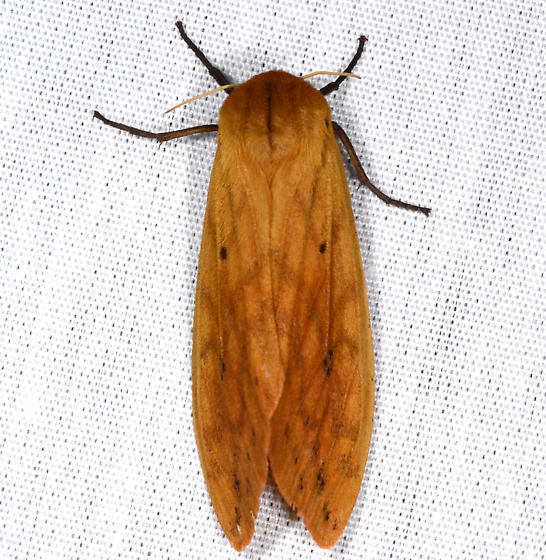 Pyrrharctia - Pyrrharctia isabella