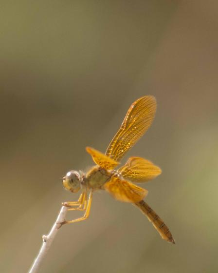 Dragonfly - Perithemis intensa