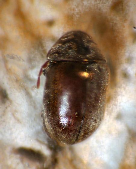 Anobiidae - Tricorynus