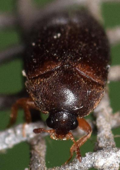 black carpet beetle - Attagenus brunneus - female