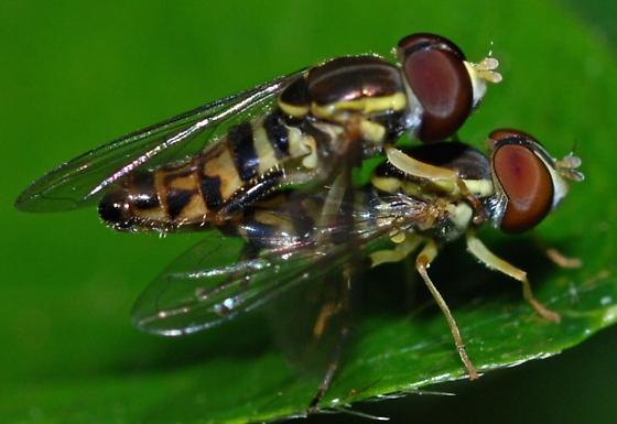 Syrphidae - Toxomerus geminatus