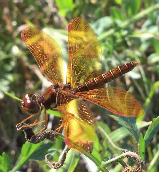 Dragonfly - Ontario - Perithemis tenera