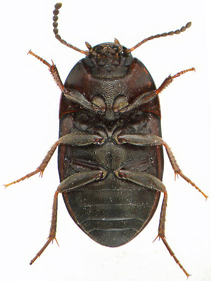 Gondwanocrypticus platensis