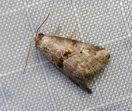 Yellow-spotted Graylet - Hyperstrotia flaviguttata