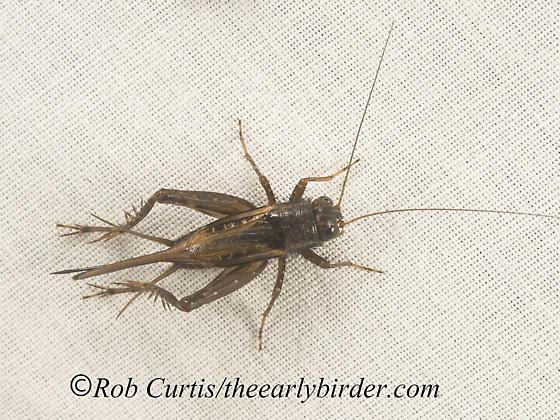 9048355 cricket - Allonemobius - female