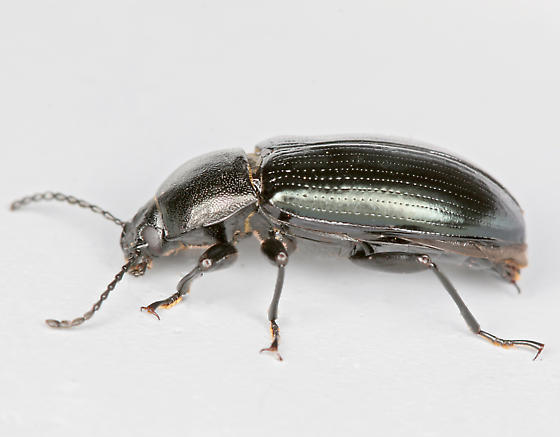 BG2413 D0894 - Centronopus calcaratus - male