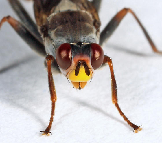 Scathophagidae? - Hydromyza confluens