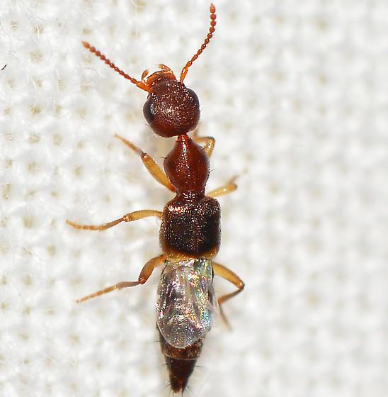 Rugilus? - Rugilus orbiculatus
