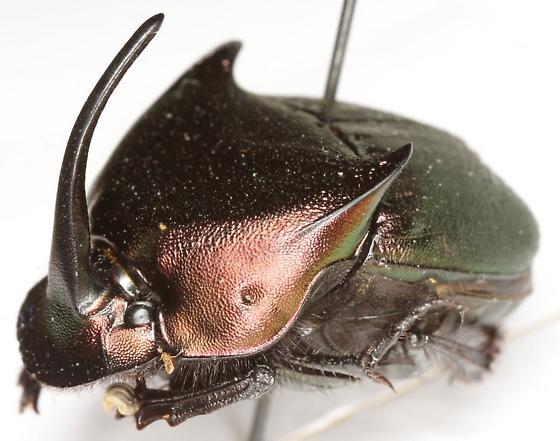 Phanaeus triangularis texensis Edmonds - Phanaeus triangularis - male