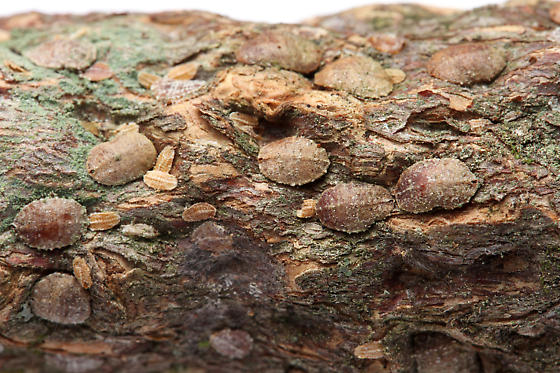 false pit scales - Lecanodiaspis prosopidis - female