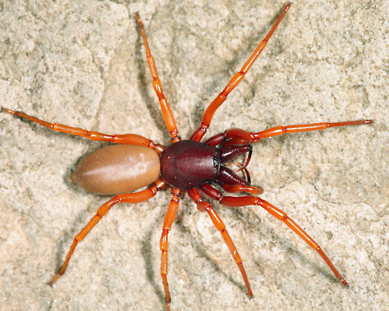 Woodlouse Hunter - Dysdera crocata