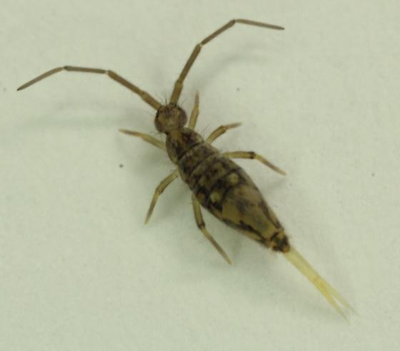 Entomobrya? - Entomobrya intermedia