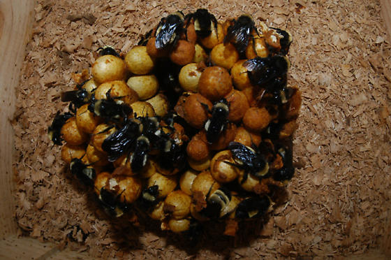 B. pensylvanicus nest - Bombus pensylvanicus - female