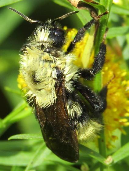 Bombus on Euthamia - Bombus fernaldae - female