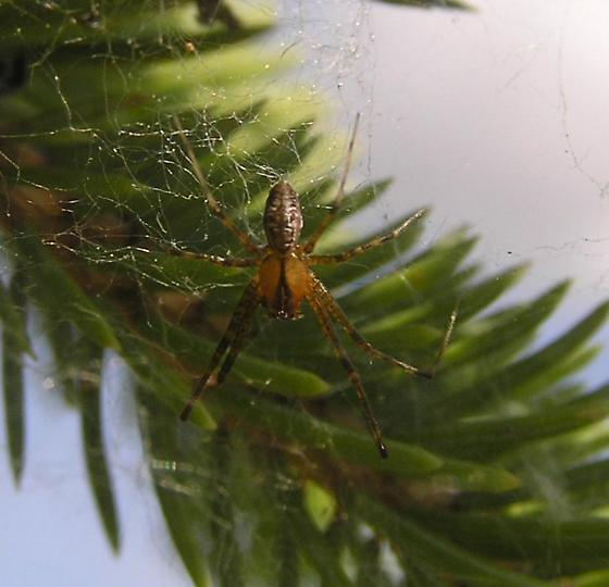 Pine Spider, 12:10pm - Pityohyphantes - male
