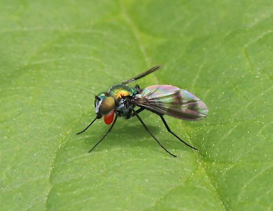 Possible Long Legged Fly on leaf.  Can anyone tell me what the red sack is or what the fly is doing? - Condylostylus patibulatus