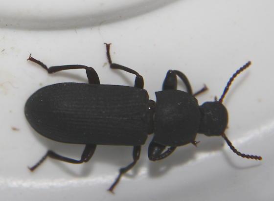 Mystery Basement Beetle - Tenebrio obscurus