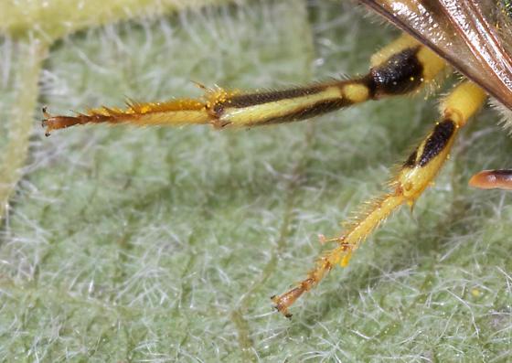 Male striped sweat bee - Agapostemon texanus? - Agapostemon texanus - male