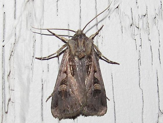 moth sp - Feltia