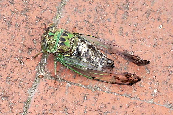 Eastern Scissor(s) Grinder Cicada - Neotibicen winnemanna