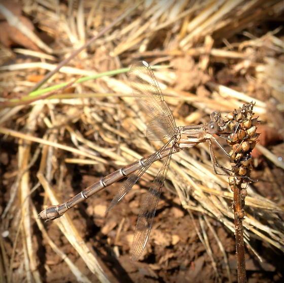 Plain brown dragonfly - Archilestes californica