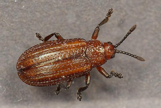 hispine - Microrhopala vittata