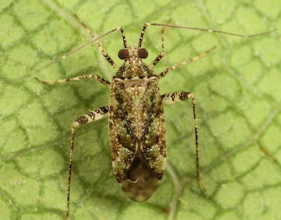 Mirid - Phytocoris eximius