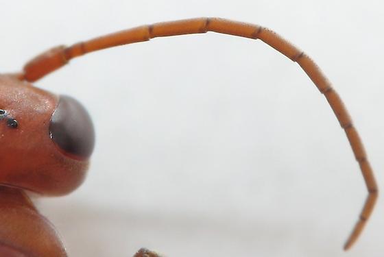 Male Braconid Wasp? - Ageniella accepta - female