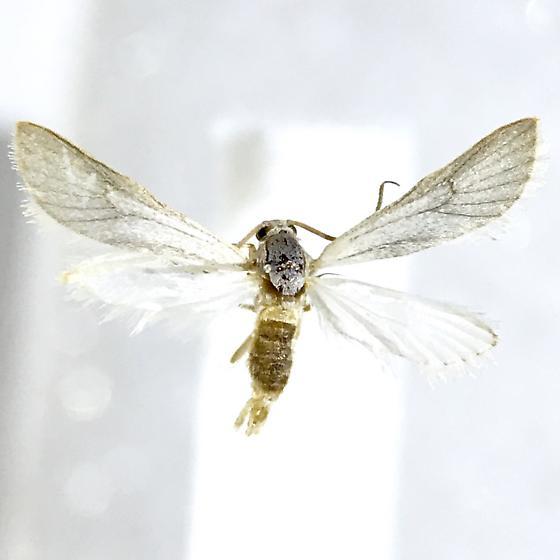 Acentria ephemerella - male